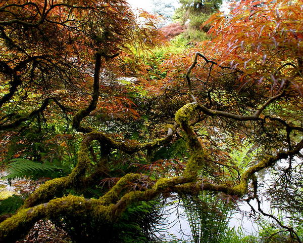 Botany Poster featuring the photograph Wild Japanese Maple by Sonja Anderson