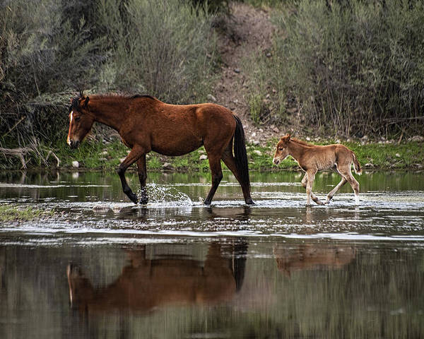 Foal Poster featuring the photograph Wild Mother And Foal Horses Walk In The Salt River by Dave Dilli