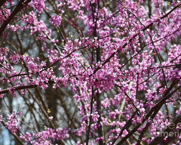 Wild Redbuds Poster featuring the photograph Wild Redbuds by Maria Urso