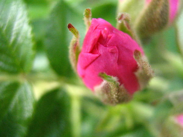 Rose Poster featuring the photograph Wild Rose Bud by Melissa Parks