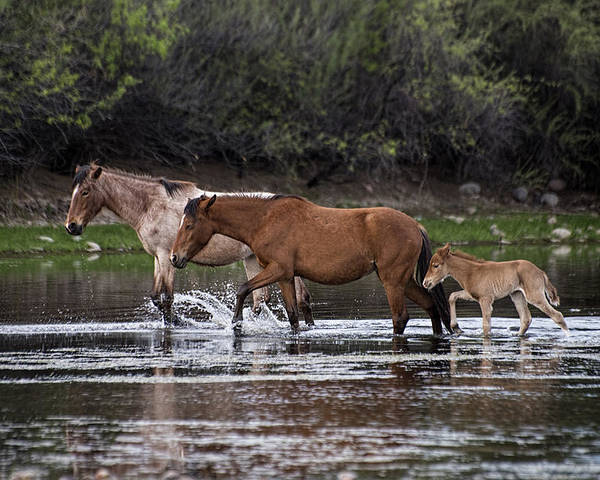 Wild Horses Poster featuring the photograph Wild Salt River Horses River Walk by Dave Dilli