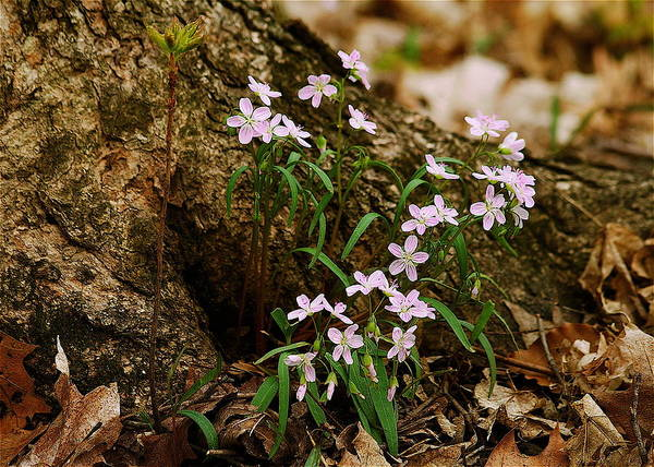 Spring Poster featuring the photograph Wild Spring Beauty by Michael Peychich