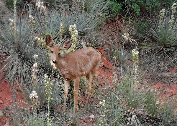 Deers Poster featuring the photograph 'wild' Times At Garden Of The Gods Colorado by Christine Till