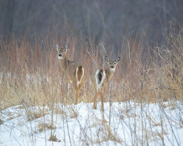 Deer Poster featuring the photograph Wild Winter by Bonfire Photography