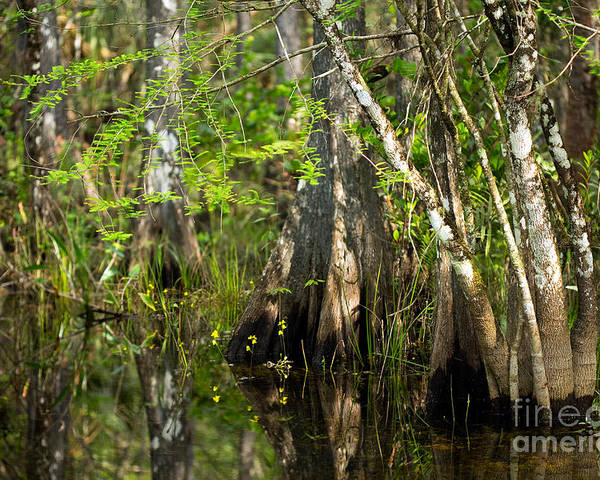 Swamp Poster featuring the photograph Wildflowers And Cypress Trunks In Florida Swamp by Matt Tilghman
