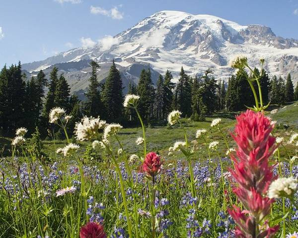 Attractions Poster featuring the photograph Wildflowers In Mount Rainier National by Dan Sherwood
