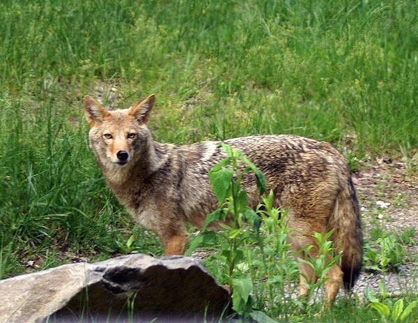 Cpyote Poster featuring the photograph Wiley Coyote by Marty Koch