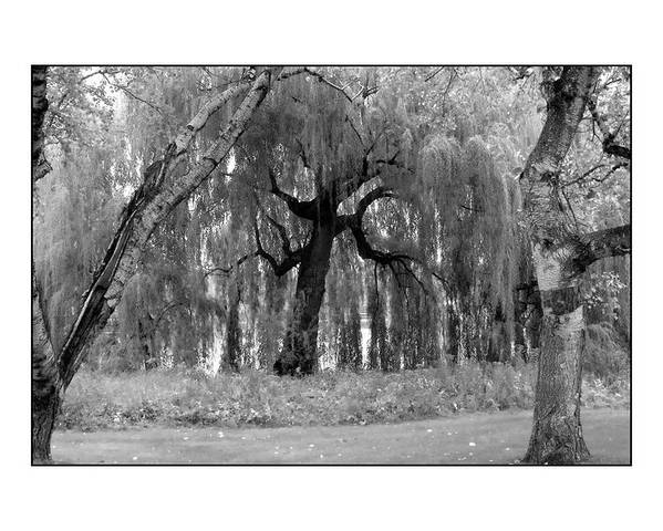Willow Poster featuring the photograph Willows by Filipe N Marques