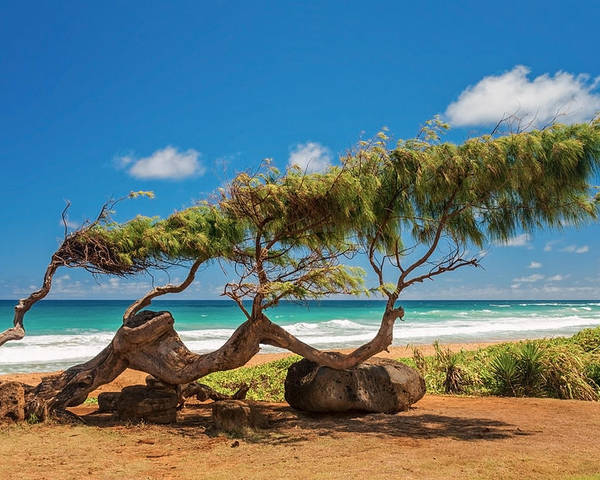 Wind Blown Tree Kapaa Kauai Hawaii Hi Poster featuring the photograph Wind Blown Tree by Brian Harig