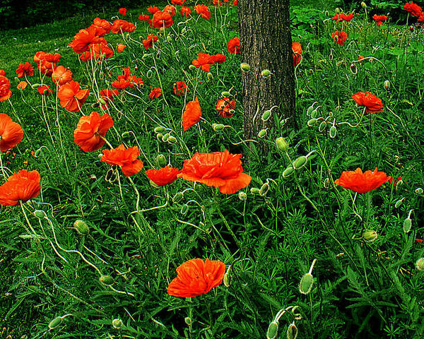 Flowers Poster featuring the photograph Windblown Poppies by Roger Soule