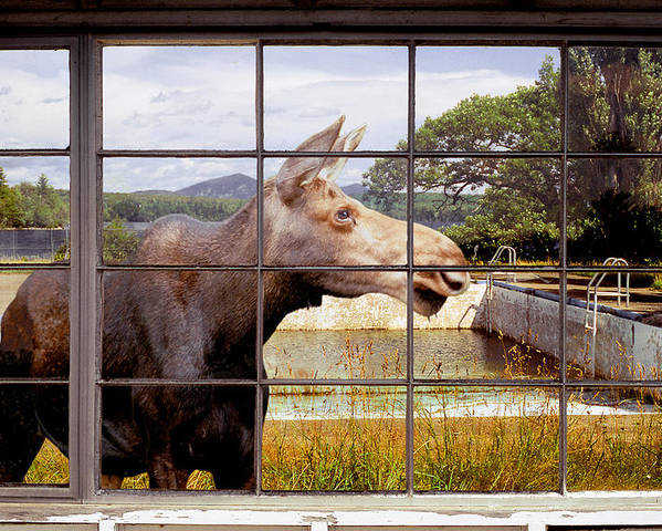 Moose Poster featuring the photograph Window - Moosehead Lake by Peter J Sucy