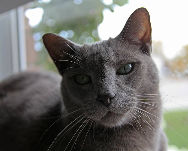 Gray Cat In Window. Fine Art Cat Greeting Cards. Fin Art Cat Canvas Prints. Fine Art Gary Cat Greeting Cards. Gary Cat With Green Eyes. Gray Cat Photography. Cat Photography. Kitten Photography.mixed Media. Mixed Media Photography. Mixed Media Cat Photography. Digtral Cat Art. Digtal Photography. Poster featuring the photograph Window Time by James Steele