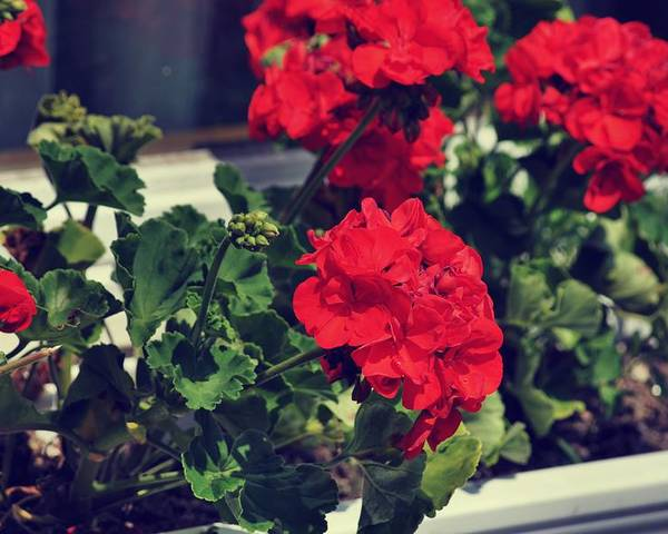 Red Poster featuring the photograph Windowbox by JAMART Photography