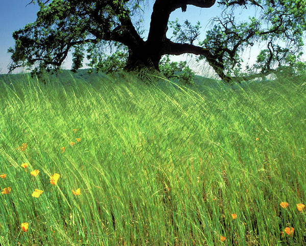 Oak Trees Poster featuring the photograph Windswept Poppies by Kathy Yates