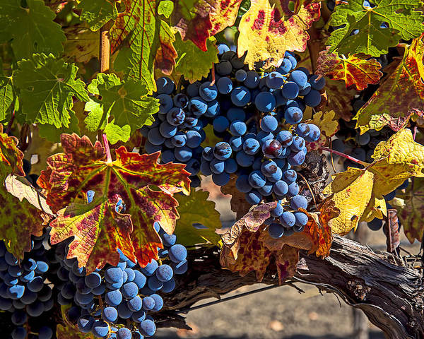 Grapes Poster featuring the photograph Wine Grapes Napa Valley by Garry Gay