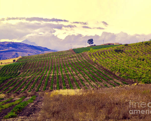 Wine Poster featuring the photograph Wine Vineyard In Sicily by Madeline Ellis