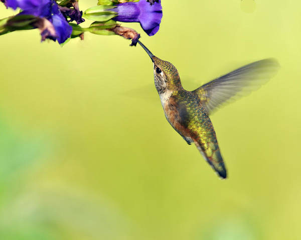 Hummingbird Poster featuring the photograph Winged Beauty A Hummingbird by Laura Mountainspring