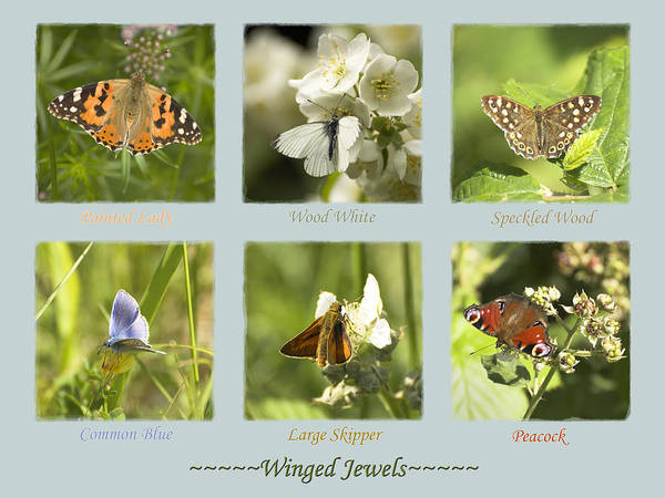 Butterflies Poster featuring the photograph Winged Jewels by Hazy Apple