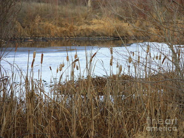 Winter Pond Poster featuring the photograph Winter Cattails by Carol Groenen