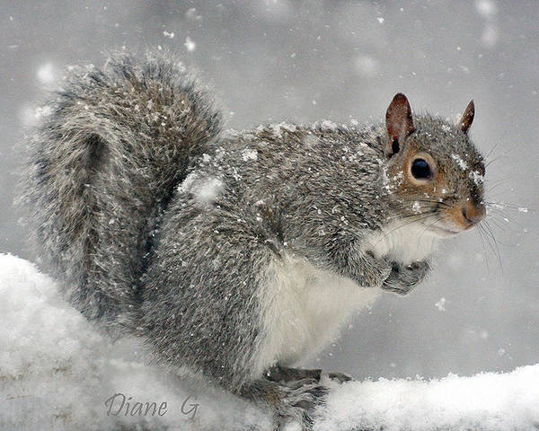 Winter Squirrel Poster featuring the photograph Winter by Diane Giurco