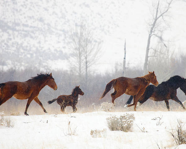 Mustangs Poster featuring the photograph Winter Gallop by Mike Dawson