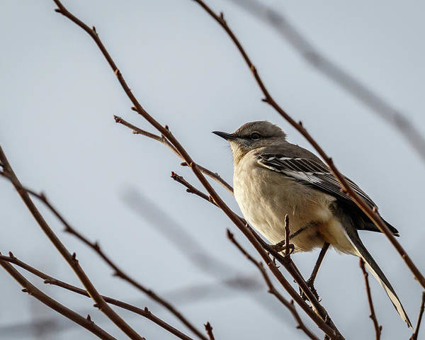 Winter Poster featuring the photograph Winter Mockingbird by Rob Weingart