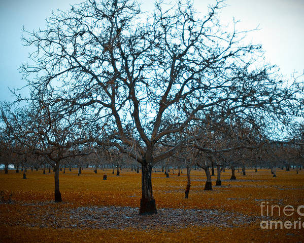 Sonoma County Poster featuring the photograph Winter Orchard by Derek Selander