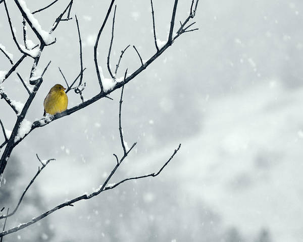 Goldfinch Poster featuring the photograph Winter Snow With A Touch Of Goldfinch For Color by Laura Mountainspring