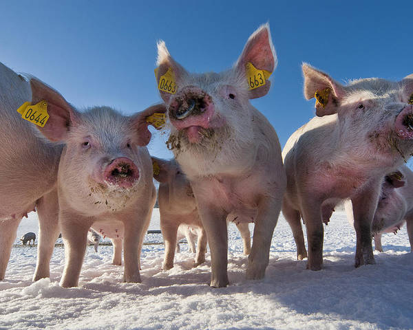 Pigs Poster featuring the photograph Winter Sports by Robert Lacy