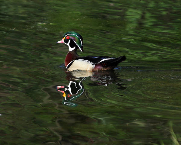Wood Duck Poster featuring the photograph Wood Duck by Richard McRee