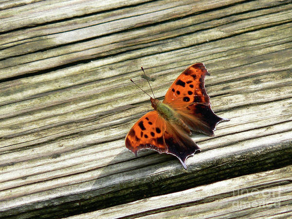 Butterfly Poster featuring the photograph Wood Stop by Joy Tudor