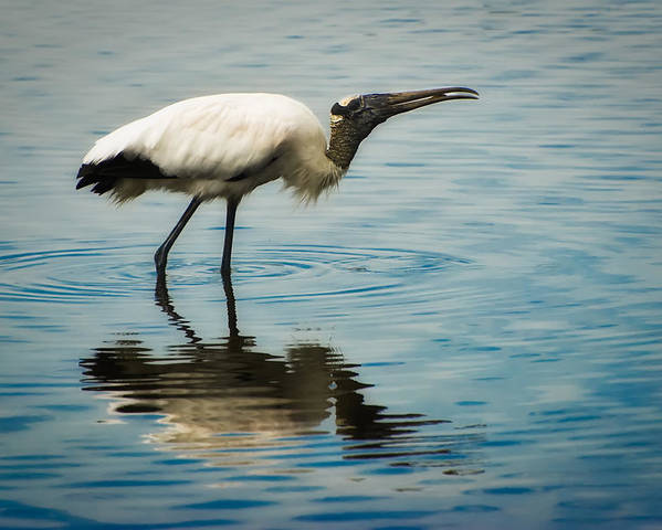 Stork Poster featuring the photograph Wood Stork by Rich Leighton