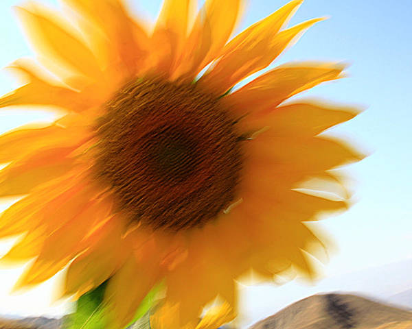 Sunflowers Poster featuring the photograph Yell by Robert Shahbazi