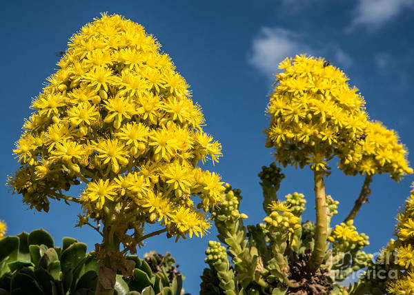 Aeoniums Poster featuring the photograph Yellow Aeonium by Rex Wholster