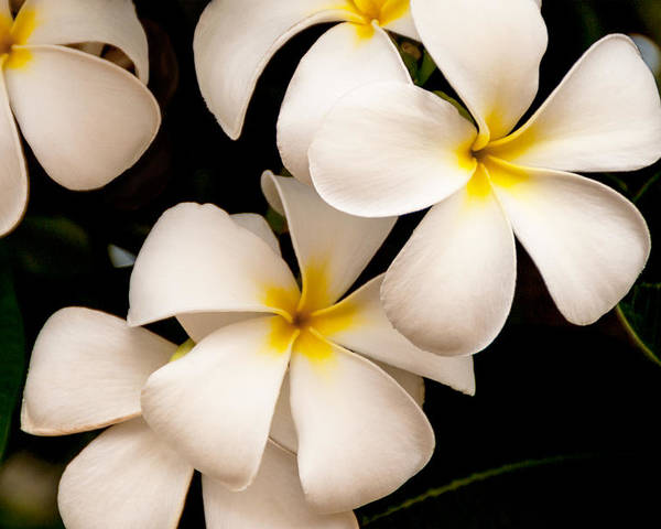 Yellow And White Plumeria Flower Frangipani Poster featuring the photograph Yellow And White Plumeria by Brian Harig