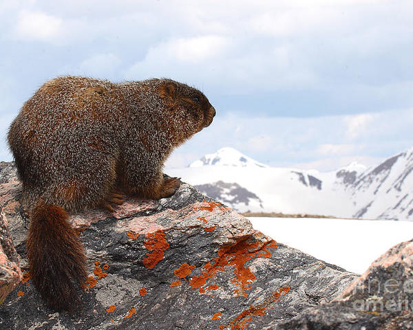 Marmot Poster featuring the photograph Yellow-bellied Marmot Enjoying The Mountain View by Max Allen