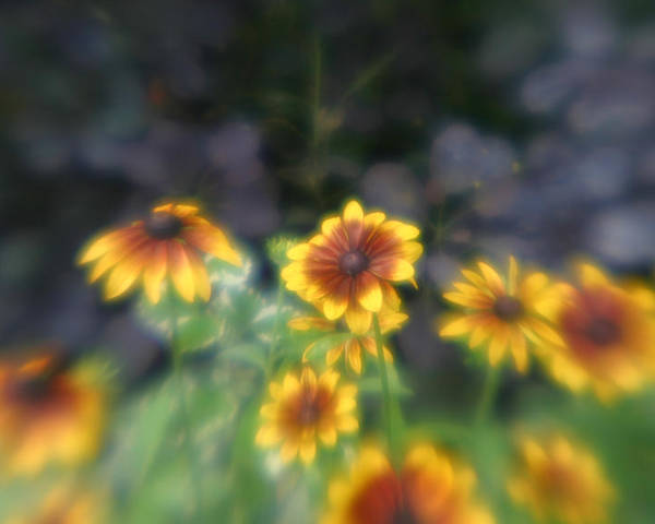 Poster featuring the photograph Yellow Daisies In Monets Garden by Jennifer McDuffie