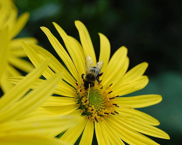Daisy Poster featuring the photograph Yellow Daisy And Bee by Patricia Hubbard