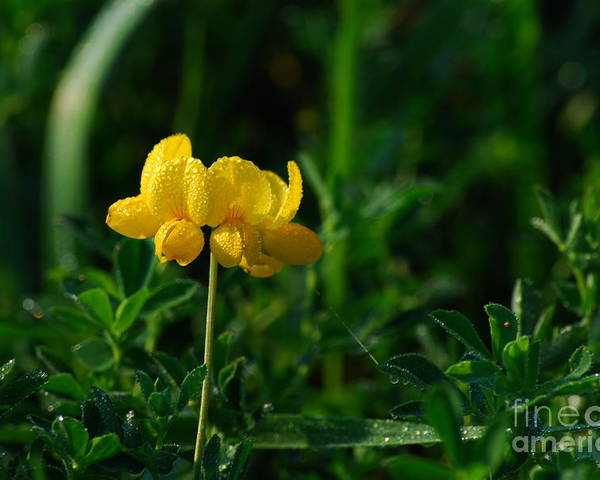 Birds Foot Trefoil Poster featuring the photograph Yellow Dew Drops by Michelle Hastings