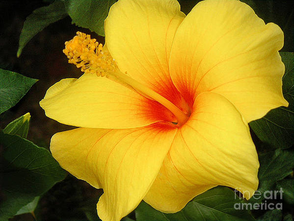 Nature Poster featuring the photograph Yellow Hibiscus by Lucyna A M Green