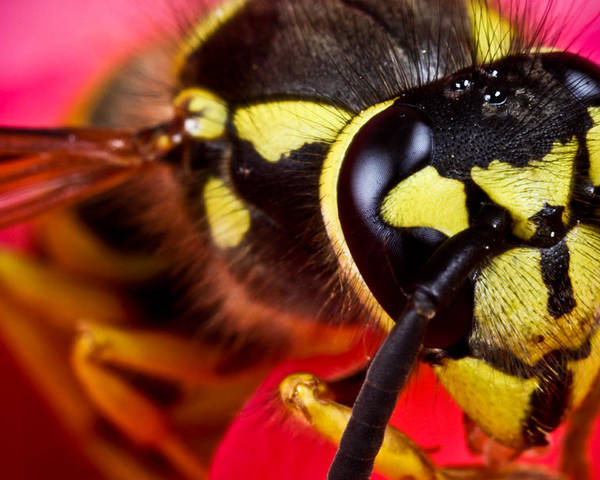 ryankellyphotography@gmail.com Poster featuring the photograph Yellow Jacket by Ryan Kelly