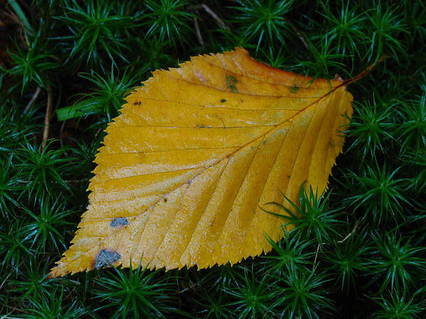Autumn Poster featuring the photograph Yellow Leaf by Juergen Roth