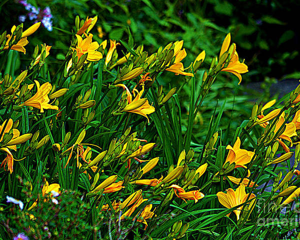 Yellow Lily Flowers Poster featuring the photograph Yellow Lily Flowers by Susanne Van Hulst