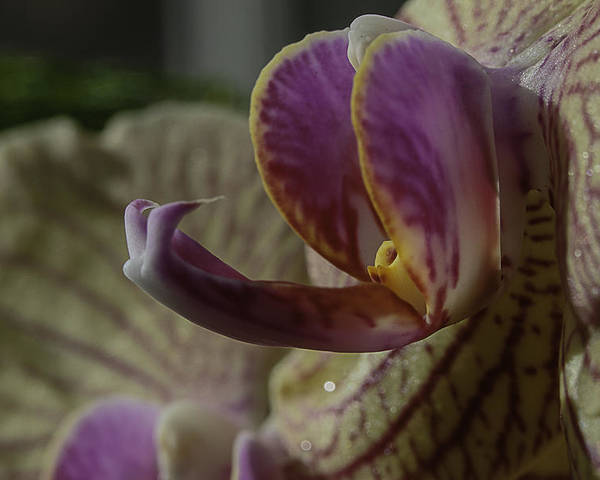 Flower Poster featuring the photograph Yellow Orchid by John Schultz