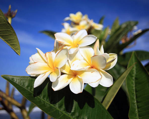 Plumeria Poster featuring the photograph Yellow Plumeria Flowers On Maui Hawaii by Michael Ledray