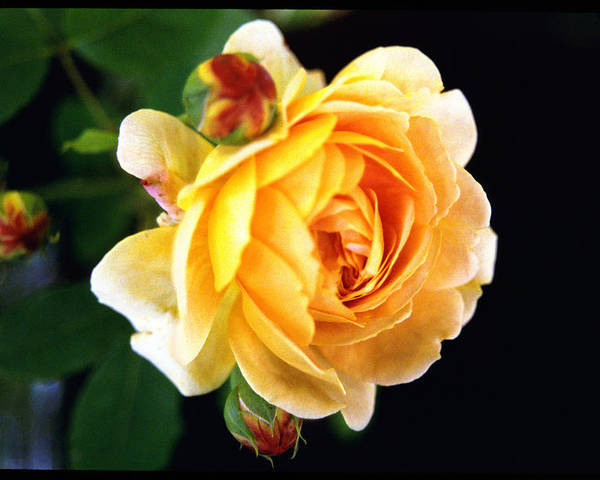Rose Poster featuring the photograph Yellow Rose by Paul Trunk
