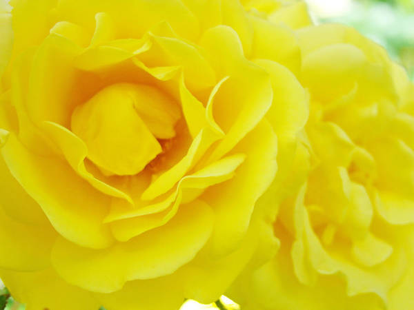Rose Poster featuring the photograph Yellow Roses Art Prints Botanical Giclee Prints Baslee Troutman by Baslee Troutman