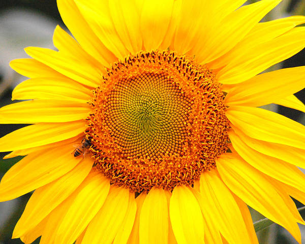 Sunflower Poster featuring the photograph Yellow Sunflower With Bee by Amy Fose