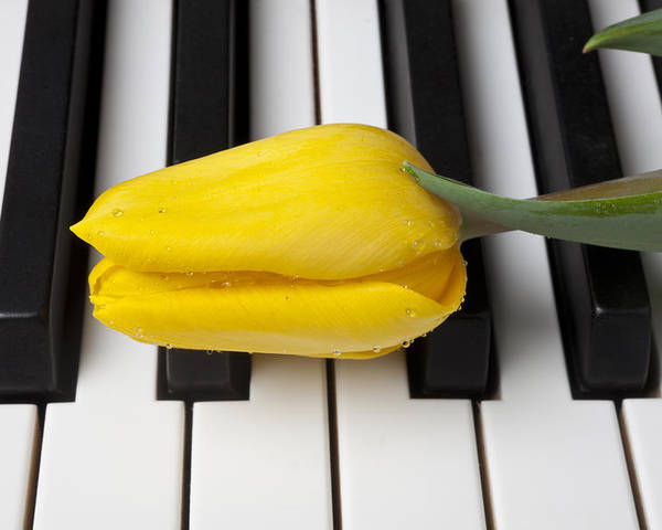 Tulip Poster featuring the photograph Yellow Tulip On Piano Keys by Garry Gay