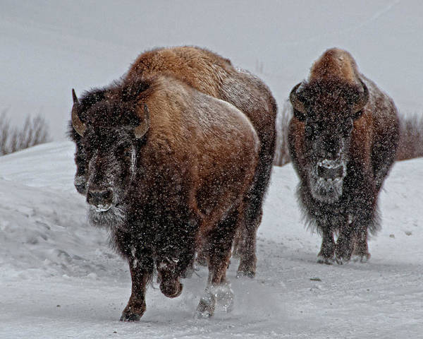 Horizontal Poster featuring the photograph Yellowstone Bison by DBushue Photography